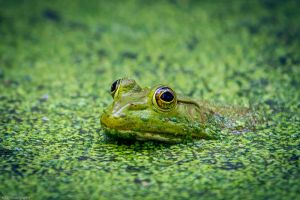 Just a frog 1 by kalika31
