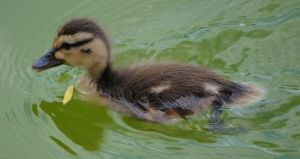 Duck 4 by Shifter6