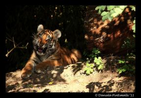 Baby Tiger: Scary Face by TVD-Photography