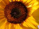 Sunny Sunflower by Bambi-Claire