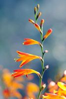 Crocosmia 01 by AlexEdg