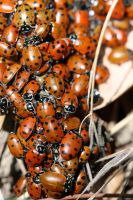 Ladybirds by the thousand ... by NTamura