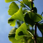 I love Ginkgos by serel