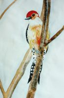 Red-bellied woodpecker by Lady-Natsuki