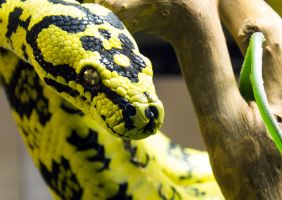 Morelia Spilota Cheynei Close-up by OrangeRoom
