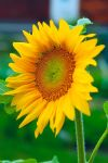Sunflower by xUSSR
