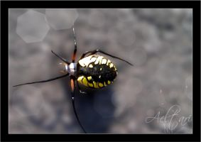 Black and Yellow Spider by Aeltari