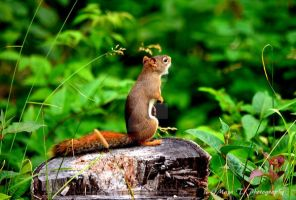 Squirrel singing by TheLittleMaja