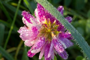 Dew covered flower and grass by bryanwny
