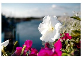 Bloom Over the Canal by Moonkitty