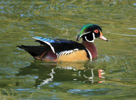 Wood Duck 1 by sgt-slaughter