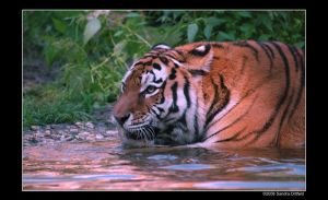 Siberian Tiger 10 by grugster