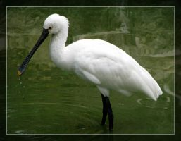 sad Spoonbill by maska13