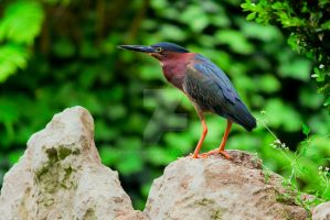 Green Heron by ribbonworm