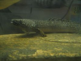Ornate bichir 19'' by Aphotic-Spectre