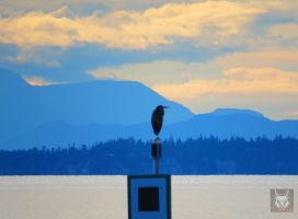 The Great Blue Heron Infront Of Blue by wolfwings1