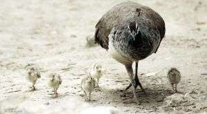 Peahen and Kids by alahay
