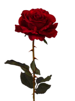 Rose II PNG by PiXasso79-Stock