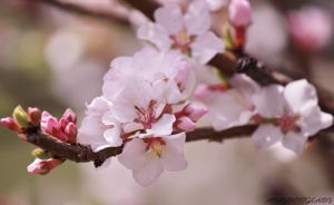 Almond Blooms II by AKayPhotography