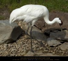 Whooping Crane 2 by SalsolaStock