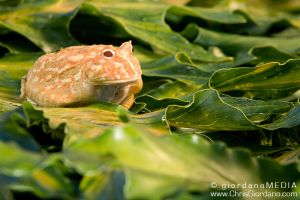 albino Ornate Horned Frog by CGPhotography