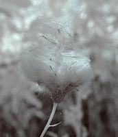 IR Thistle Abney House Park by Okavanga