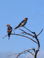 Lesser Striped Swallows by AfricanObserver