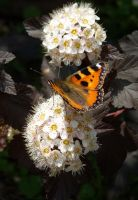 Butterfly on white flowers by TinyWild