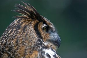 Great Horned Owl by Sonny2005