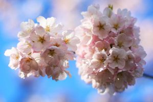 Cherry Blossoms 1 by esoup13