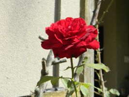 Red Rose by rocklets
