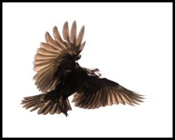 crow study III by depleted