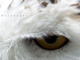 Snowy Owl Eye by moirsypan