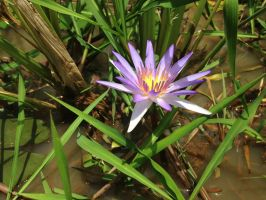 Water lily in the rice paddies around Angkor Wat by Mikobi