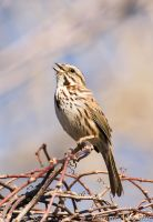 Song sparrow by Gallynette