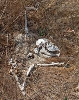 Bones of a Goat or Sheep by Azraphale