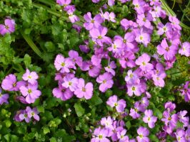 Aubretia in late Spring by illusiveexistence