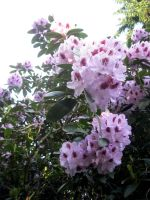 Rhododendron by atichanhardcore