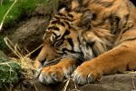 Sleeping Tiger by cathy001