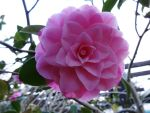 Camellia 01 by cemacStock