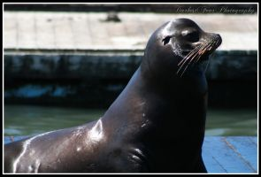 Sea Lion III by DarkestFear