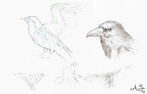 Common Raven study by AndreaSchepisi