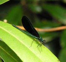 Ebony Jewelwing by JoyKodani