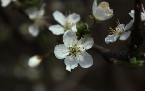Blossom 11 WP by wuestenbrand