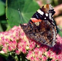 The Red Admiral by xBarbaraG