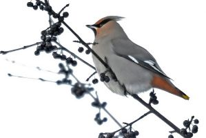 Bohemian Waxwing 1 by MichelLalonde