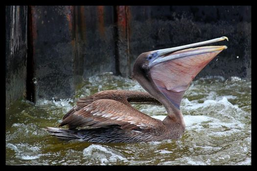 The Brown Pelican by SalemCat
