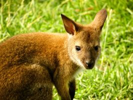 Wee Little Wallaby by soyrwoo
