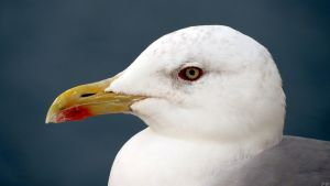 Seagull2 by biffexploder