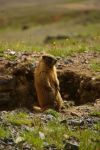 The Proud Marmot by RollingFishays